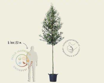 Prunus lusitanica 'Angustifolia' - hoogstam