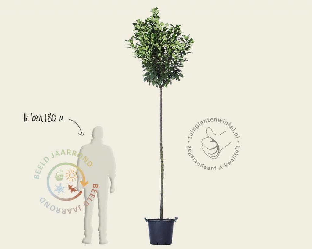 Prunus laurocerasus 'Etna' - 200 cm stam