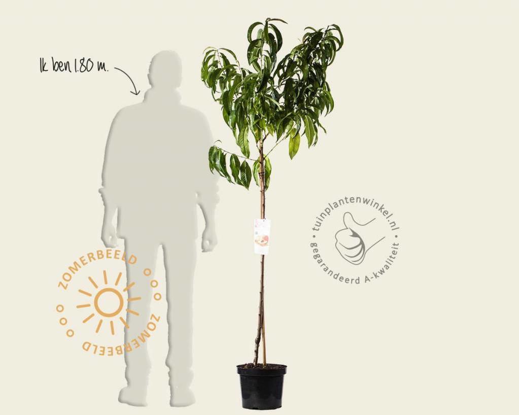 Prunus nucipersica 'Flavortop' - halfstam