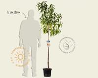 Prunus persica 'Suncrest' - halfstam