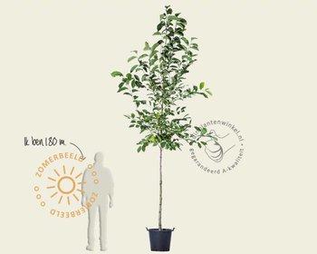 Magnolia 'Kobus'