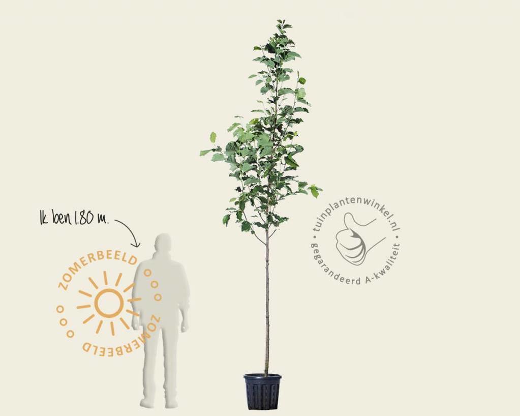 Klik hier om Magnolia 'Galaxy' te kopen
