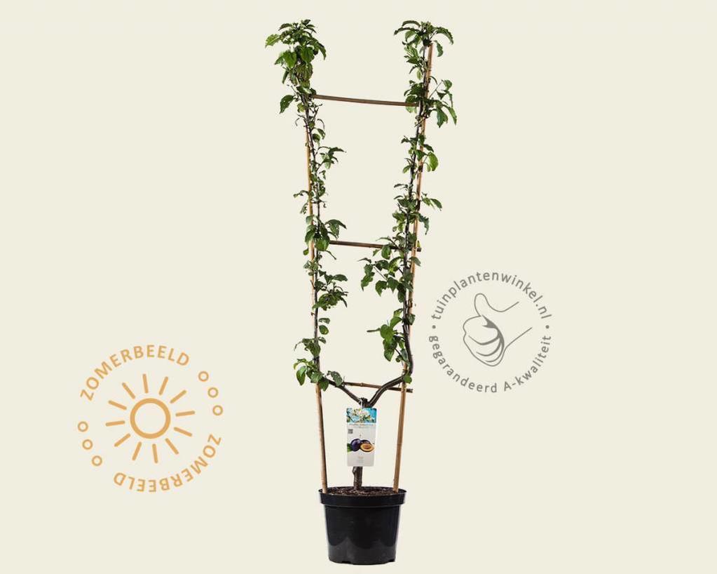 Prunus domestica 'Hauszwetsche' - U-vorm