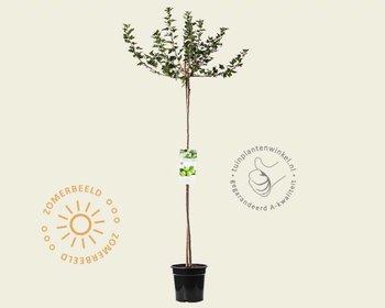 Ribes uva-crispa 'Hinnonmaki Grun' - 90 cm stam