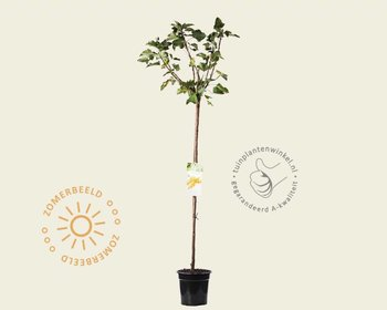 Ribes rubrum 'Werdavia' - 90 cm stam