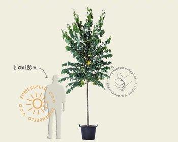 Cercidiphyllum japonicum - hoogstam