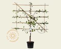 Prunus domestica 'Opal' - laagstam lei-vorm