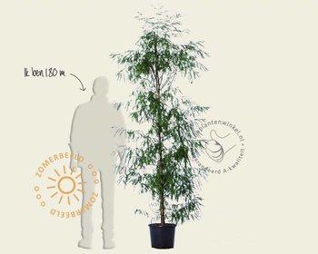 Taxodium distichum - beveerd