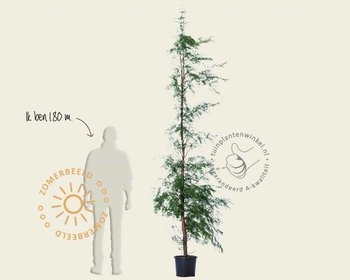 Metasequoia glyptostroboides - beveerd