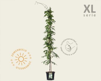 Wisteria sinensis 'Alba' - XL