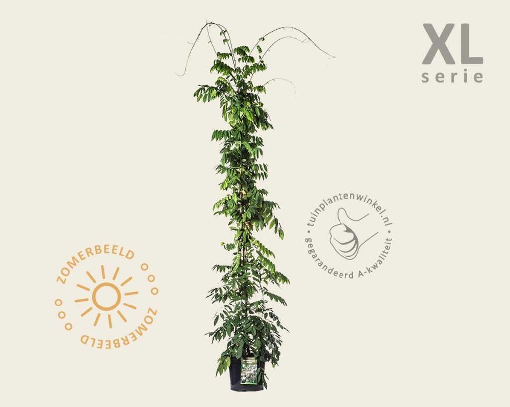 Wisteria sinensis 'Prolific' - XL