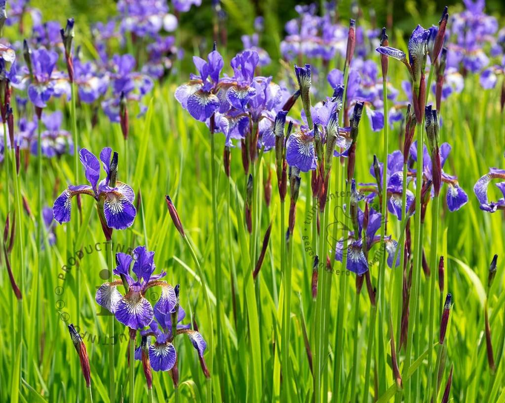 Iris sibirica 'Blue King'