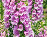 Digitalis purpurea 'Gloxiniiflora'