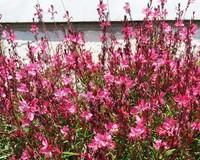 Gaura lindheimeri 'Pink Dwarf'