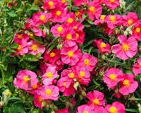 Helianthemum 'Ben Hope'