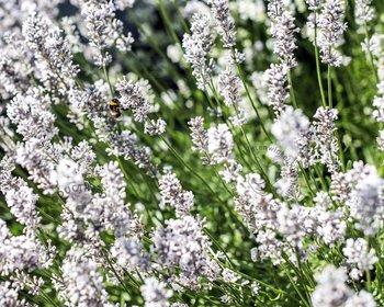 Lavandula angustifolia 'Edelweiss'