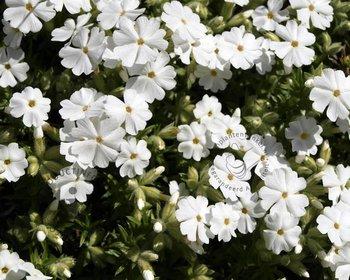 Phlox subulata 'Maischnee'