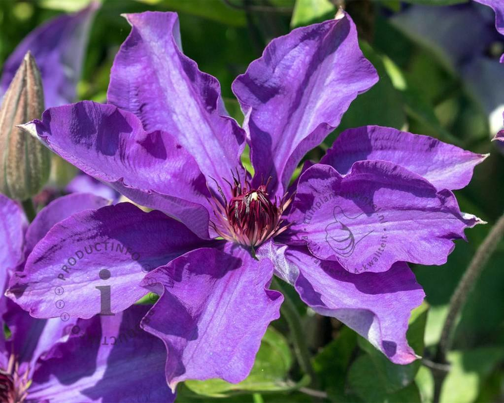 Clematis patens 'The President'