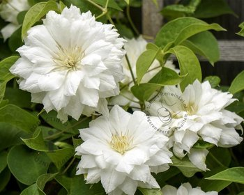 Clematis patens 'Duchess of Edinburgh'
