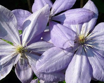 Clematis patens 'Mrs Cholmondeley'