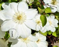 Clematis patens 'Guernsey Cream'