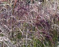Miscanthus sinensis 'Flamingo'