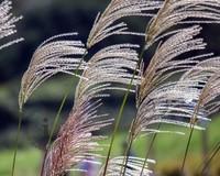 Miscanthus sinensis 'Kleine Silberspinne'