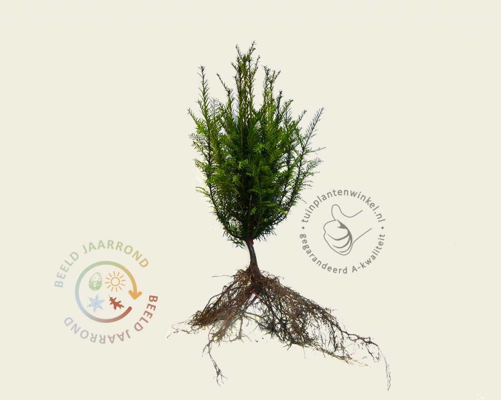 Taxus baccata 030/040 - blote wortel
