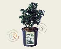Ligustrum japonicum 'Rotundifolium'