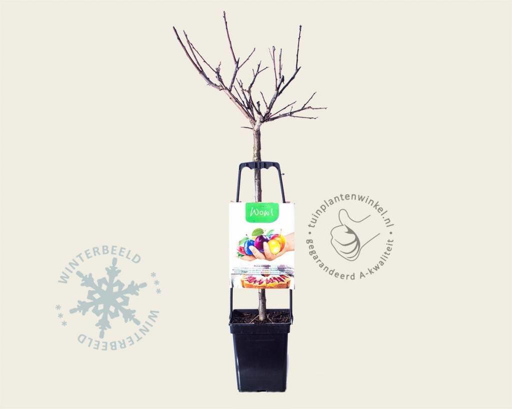 Prunus domestica 'Familieboom'
