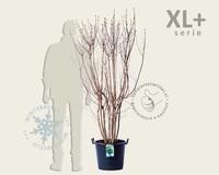 Syringa vulgaris 'Mme Lemoine' - XL+