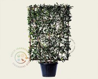 Photinia fraseri 'Red Robin' - In rek 110x160 cm