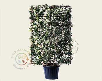 Photinia fraseri 'Red Robin' - In rek 130x200 cm