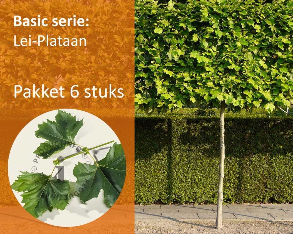 Lei-Plataan Basic - Pakket 6 stuks + Extra's!