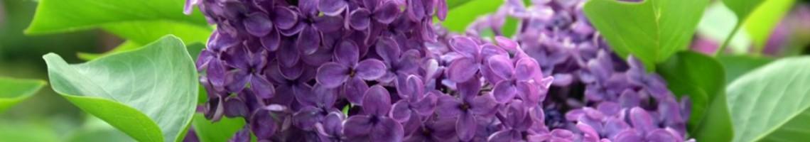 Syringa vulgaris of gewone sering