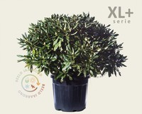 Rhododendron 'Cunningham's White' - XL+