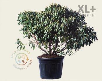 Rhododendron 'Roseum Elegans' - XL+