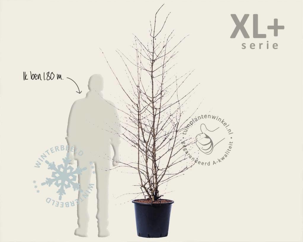 Viburnum plicatum 'Kilimandjaro' - XL+