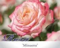 Rosa 'Minuette'