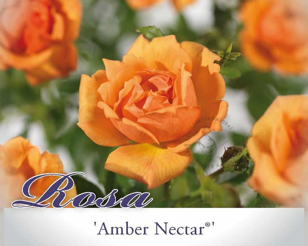 Rosa 'Amber Nectar'