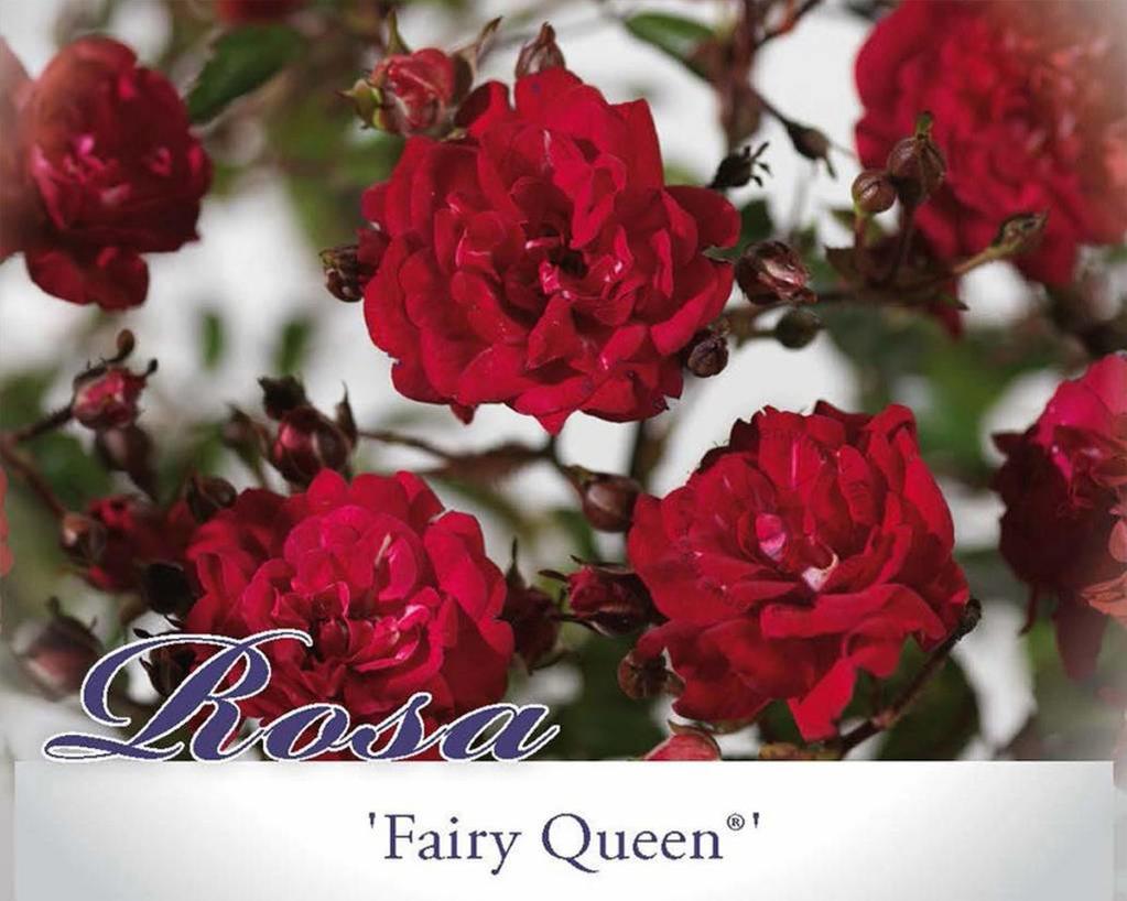 Rosa 'Fairy Queen'