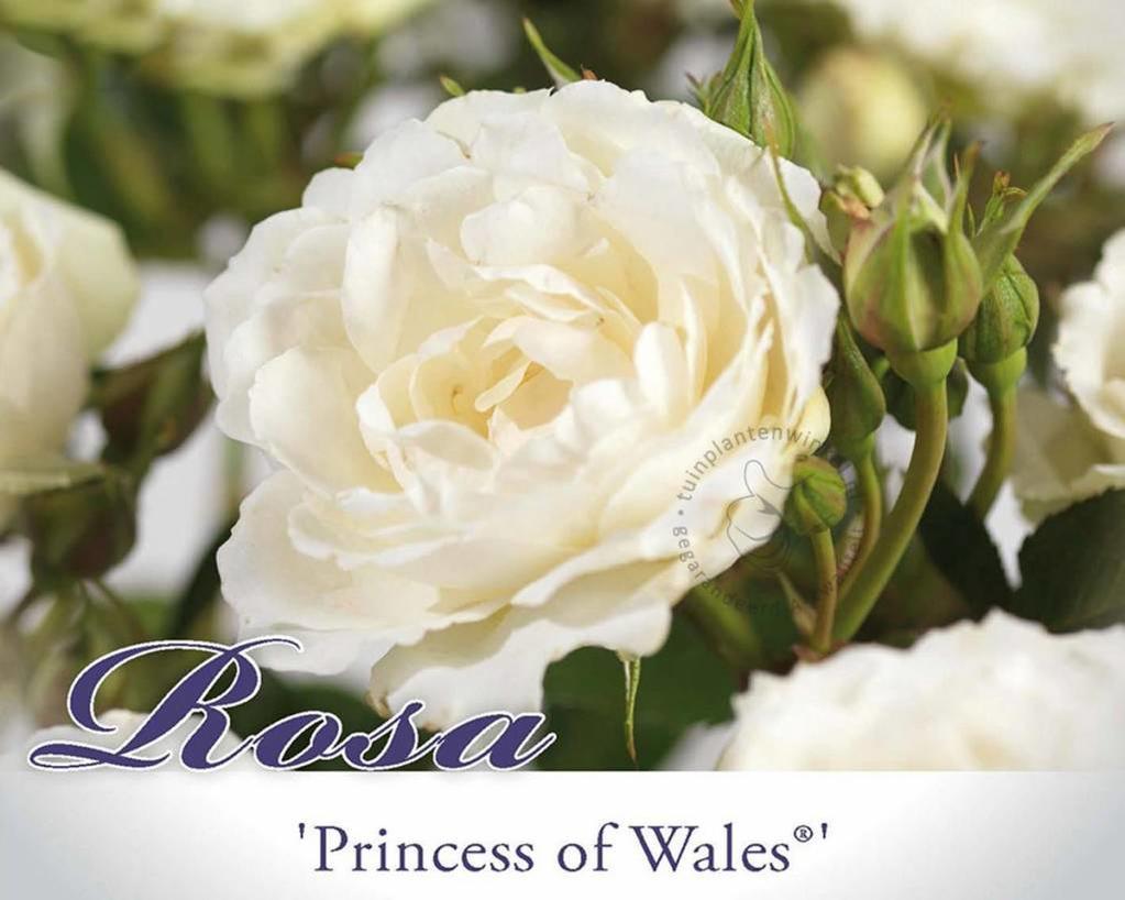 Rosa 'Princess of Wales'