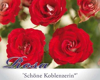 Rosa 'Schöne Koblenzerin'
