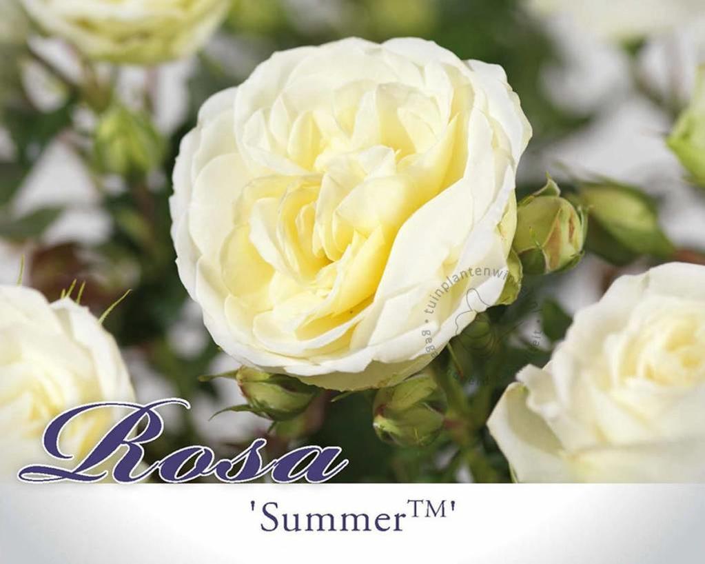 Rosa 'Summer Palace'