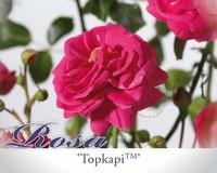 Rosa 'Topkapi Palace'