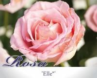 Rosa 'Elle'