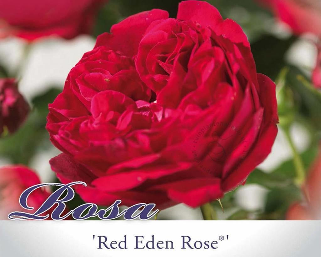 Rosa 'Red Eden Rose'
