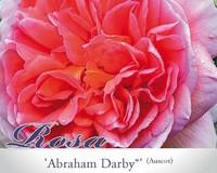 Rosa 'Abraham Darby'