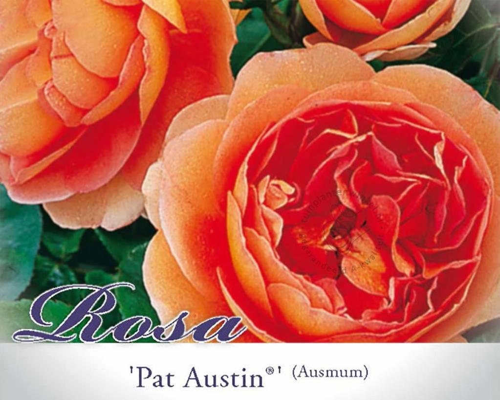 Rosa 'Pat Austin'