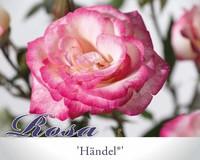 Rosa 'Händel'